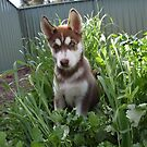 Jax-husky/malamute puppy by Russell Voigt