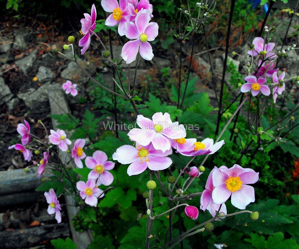 Pink Anemones by WhiteOak Thomas