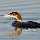 Common Solitary Loon by Kathy Baccari