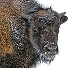 Young Bison by Daniel  Parent