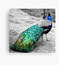 Peacock Colors Canvas Print