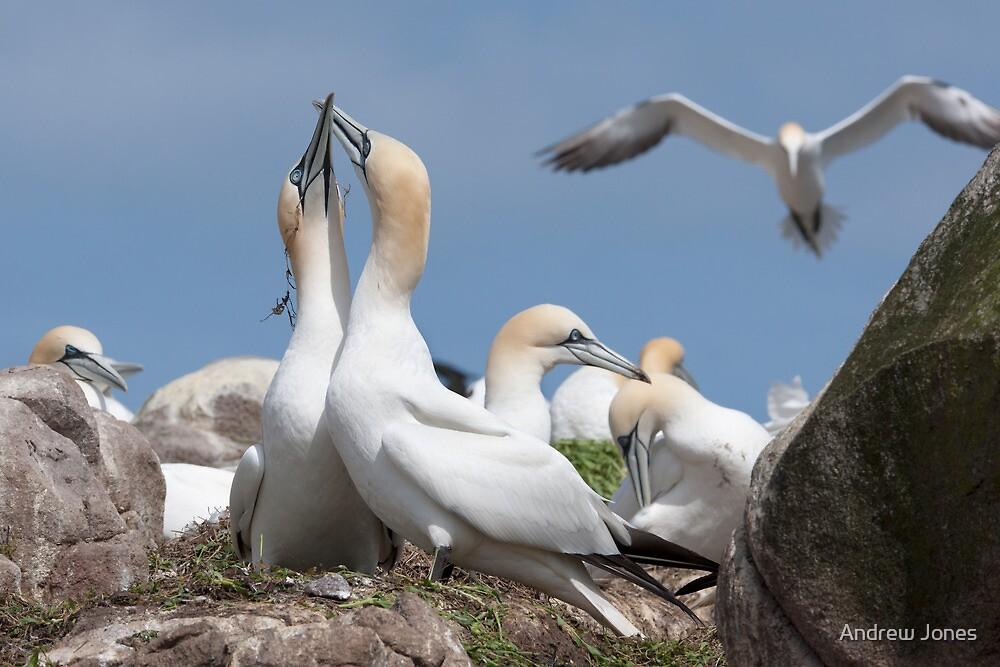 Gannets bonding, Saltee Islands, County Wexford, Ireland by Andrew Jones