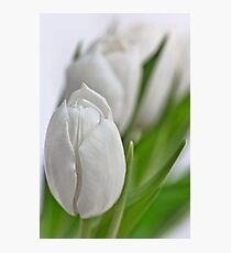 Fresh Tulips... Photographic Print