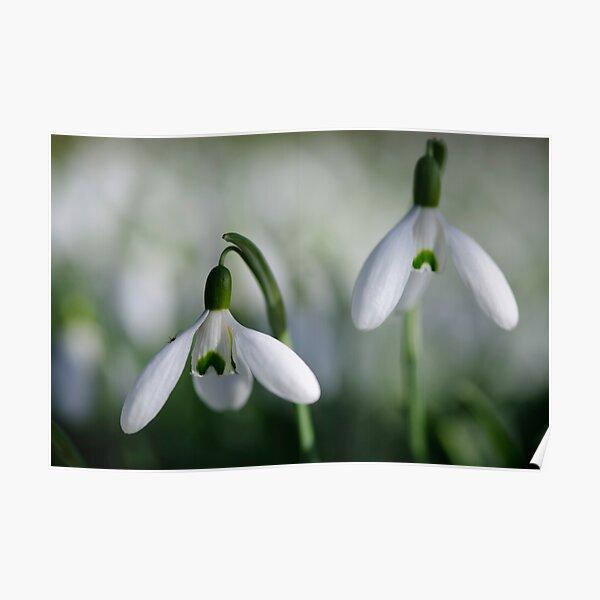 Snowdrops, County Kilkenny, Ireland Poster