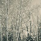 Birch in Afternoon - Lou Campbell State Nature Preserve by MLabuda