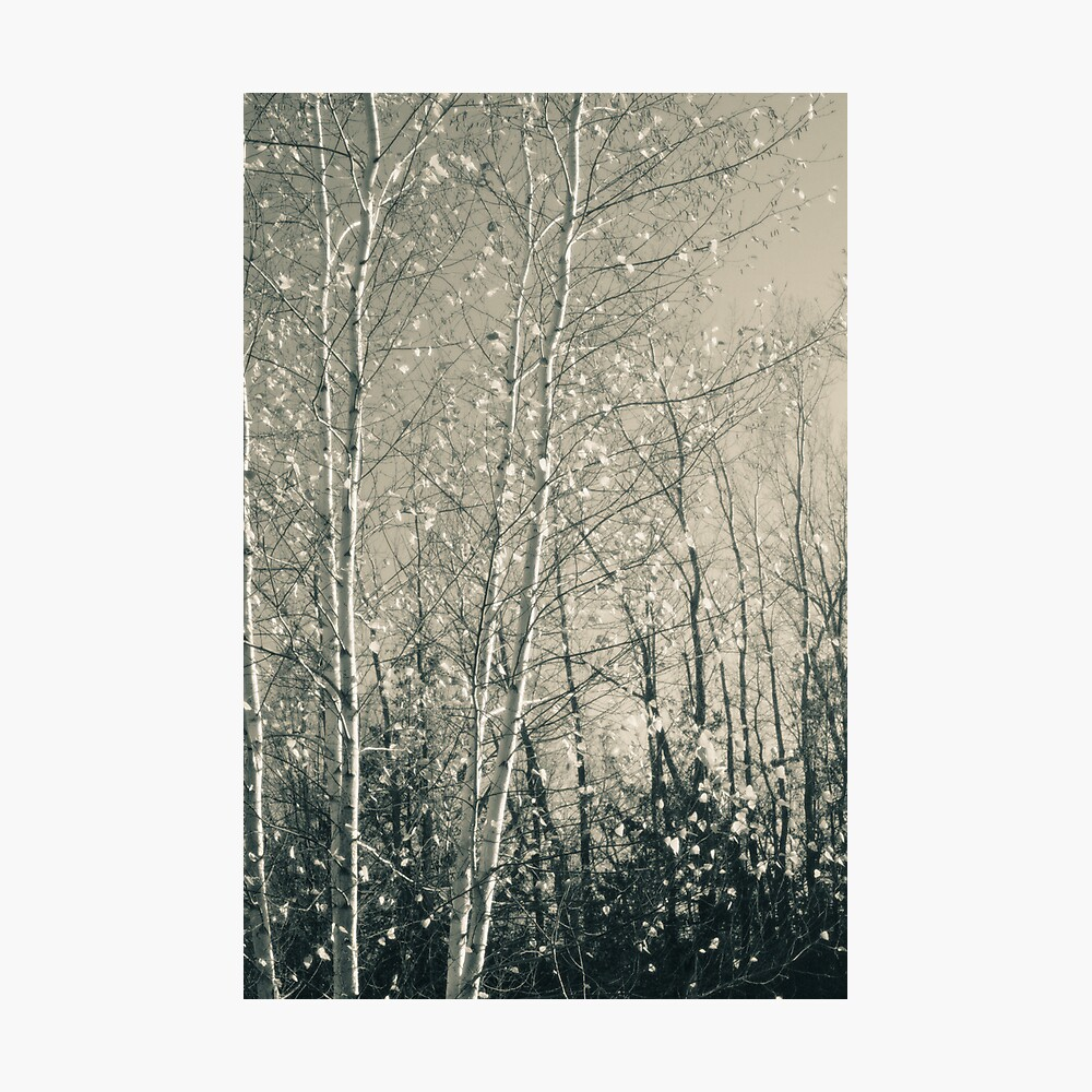Birch in Afternoon - Lou Campbell State Nature Preserve Photographic Print