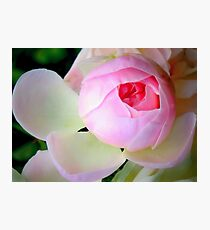Baby of a rose Photographic Print