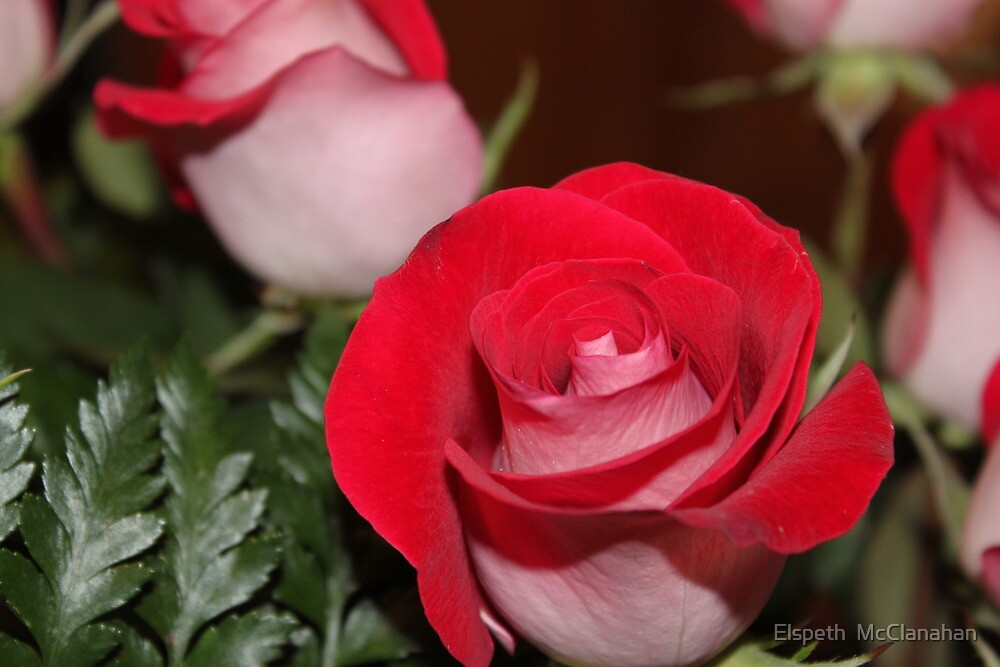 Roses for my Love by Elspeth  McClanahan