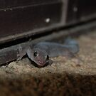 Marbled gecko by gogston