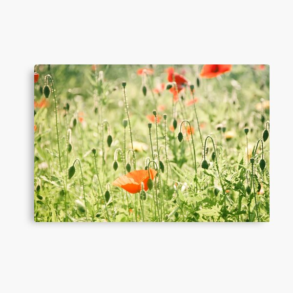 Poppy between the buds Canvas Print