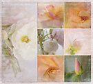 storyboard . . . . roses by Teresa Pople