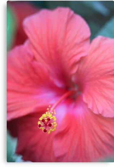 Pink Hibiscus by Thomas Murphy