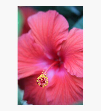 Pink Hibiscus Photographic Print
