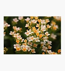 Yellow and White Flowers Photographic Print