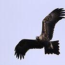 Wedge-tailed Eagle by paulinea