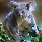 Koala Cutie by LovelyFocus