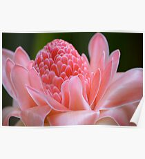 Tropical Gardens 7 - pink ginger torch lily Poster