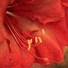 Antique Amaryllis by Astrid Ewing Photography