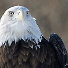 Bald Eagle for Christiane (CrismanArt) by cherylc1