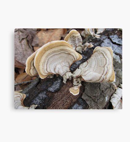 Shelf Fungus on Oak Canvas Print