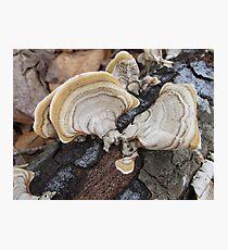 Shelf Fungus on Oak Photographic Print