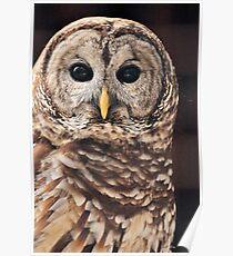 Barred Owl ( Strix varia ) Poster
