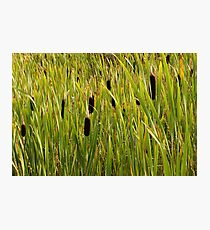 A Swamp Of Cattails Photographic Print