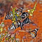 ORANGE TIGER BUTTERFLIES ???  OR  SWAMP TIGER BUTTERFLIES by Raoul Madden