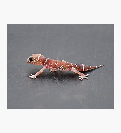 Thick-tailed Gecko Photographic Print