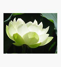 White flowering Lotus Photographic Print