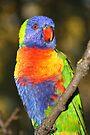 Rainbow Lorikeet #1 by Carole-Anne