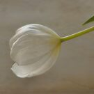 White Tulip by Karen  Betts