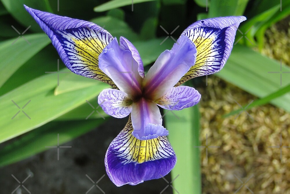 The Wild Iris by Barrie Woodward