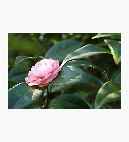 Winter Bloom - Blushing Photographic Print