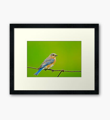 Female Eastern Bluebird Framed Print