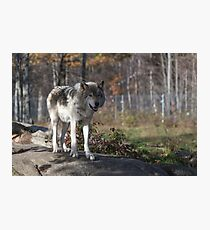 Timber wolf in the woods Photographic Print