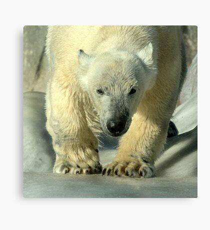 Running bear Canvas Print