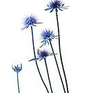 Echinacea by John Holding