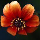 Macro Zinnia by Clare Colins