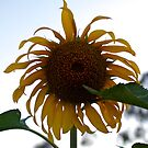 Sad Sunflower by Stephen Monro