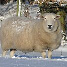 Ewe Looking at Me? by Barrie Woodward