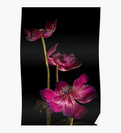 Three Purple Anemones Poster