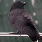 Snow Crow by Adair  Davidson