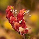 Flowering Shrimp Plant by Richard G Witham
