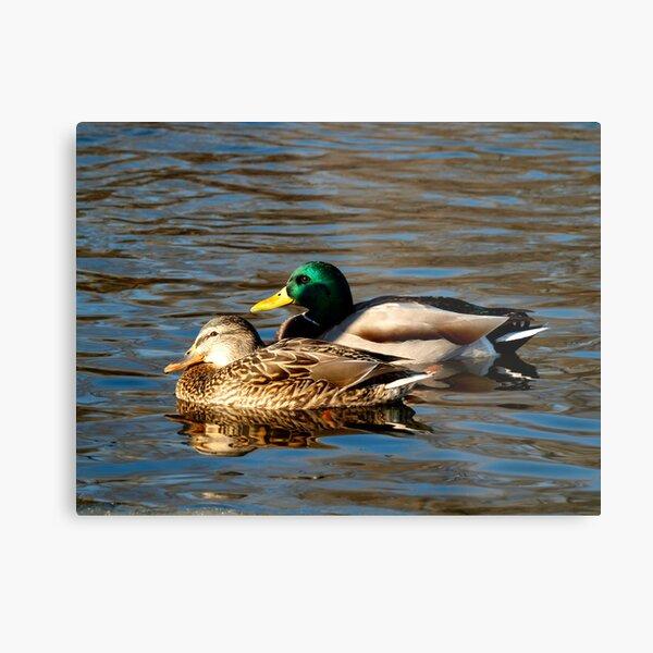 A Pair of Mallard Ducks Metal Print