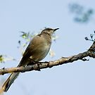 The Mockingbird by zzsuzsa