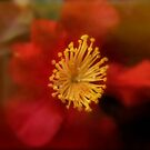 Red Camellia by Astrid Ewing Photography