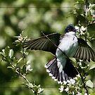 Kingbird in the Green by DigitallyStill
