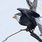 Bald Eagle by Wayne Wood