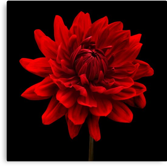 """Black And Red Wall Art red dahlia flower black background wall art"""" canvas prints"""